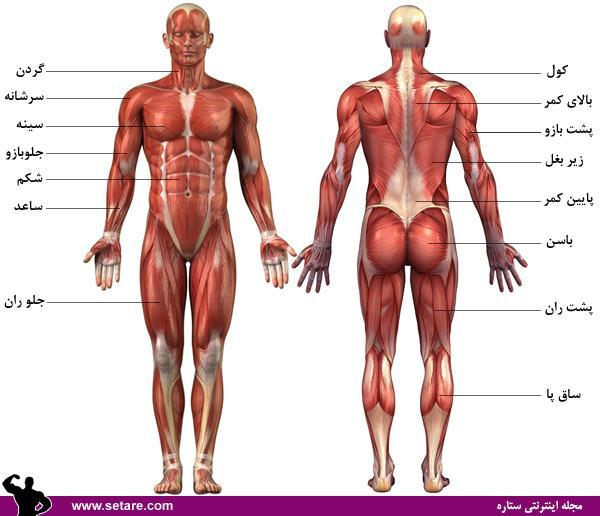 آموزش حرکات بدنسازی با تصاویر متحرک - نقشه عضلات بدن